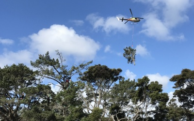 Hobsonville Point, Helicopter Pine Tree Removal