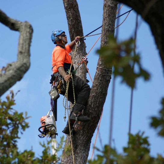 tree removal by trained arborist