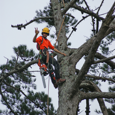 Pine Tree Removal and Arborist