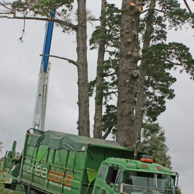 Pine Removal