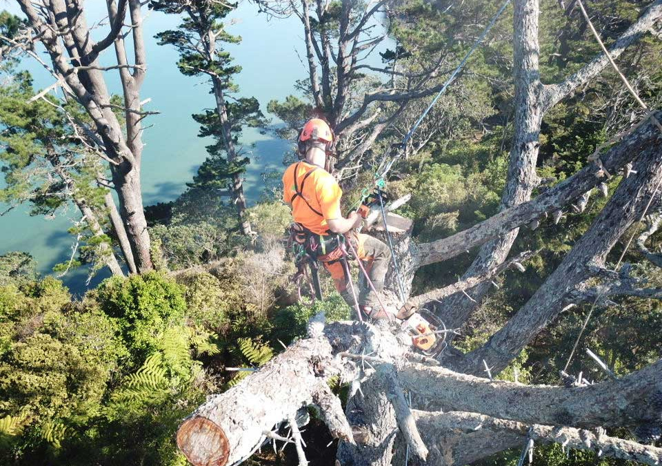 Auckland Council – Ongoing tree maintenance
